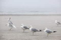 Seagulls on foggy beach (l3v1k) Tags: ocean blue sea brown seagulls mist bird beach nature water birds misty fog standing grey coast sand seagull gull gulls sandy gray foggy overcast several shore resting dim seabird seabirds 500px ifttt