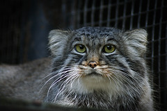 Cat Eyes (Niks Freimanis) Tags: beautiful animal cat canon zoo eyes baltic latvia exotic tamron riga manul 70300 pallass 70d otocolobus zverinjidiktamjauki