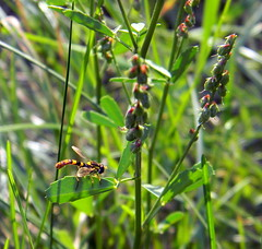 Hover fly Herford Germany 21st August 2013 21-08-2013 15-33-22 (dennoir) Tags: germany fly 21st august herford hover 2013 153322 21082013