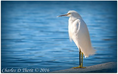 Snowy Egret (ctofcsco) Tags: blue usa white black bird nature water yellow canon geotagged iso200 unitedstates florida outdoor wildlife ngc f10 explore 5d 100 lakecity egret 1500 snowyegret superzoom 350mm eos5d 35350mm ef35350mm ef35350mmf3556lusm ef353503556lusm 5dclassic 5dmark1 5dmarki geo:lat=3019160450 geo:lon=8263115744