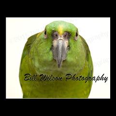 make my day (wildlifephotonj) Tags: bird birds amazon parrot parrots naturephotography amazonparrot naturephotos wildlifephotography wildlifephotos yellownapedamazonparrot yellownapedamazon natureprints