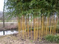bamboo (~Ingeborg~) Tags: cold gardens mood bamboo eyecatcher koud symmetrie tuinen forthoofddijk silenceandtranquility meinge stilteenrust