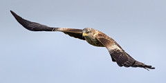 Red Kite - Milvus milvus (normanwest4tography) Tags: