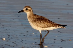 Black-bellied Plover (Jan Nagalski (jannagal)) Tags: winter bird beach nature water warm florida wildlife sunny sanibel sanibelisland plover gulfcoast shorebird southwestflorida blackbelliedplover blacklegs sanibelbeach blackbelly blackbreast blackbill jannagal jannagalski