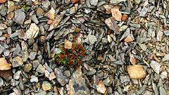 Cryoturbation (Dru!) Tags: plant canada bc britishcolumbia meadow alpine scree fell bellacoola tweedsmuir chilcotin talus rainbowrange tweedsmuirprovincialpark selforganization anahimlake fellfield heckmanpass patterenedground crytoturbation