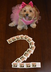 Its My 2nd Blogiversary! (yourdesignerdog) Tags: dog pets cute dogs smiling tongue hair out blog all dress designer wordpress anniversary bow monday posts mischief celebrate blogiversary ifttt