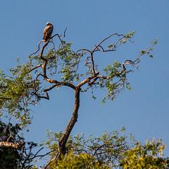 Vulture Resting Along The Zambezi River (x_tan) Tags: africa zimbabwe vulture zambeziriver canoneos5dmarkiii canonef100400mmf4556lisiiusm