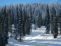 Snowy trees texture at Silver Star Ski Resort in the BC Interior (elizabatz.jensen) Tags: trees winter snow texture bc interior skiresort vernon silverstar