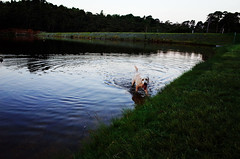 Marlo at Wentworth Falls Lake (Markus Jaaske) Tags: summer dog pet lake cute beach nature wet water beautiful animal swim puppy outside mammal canine domestic doggy ricohgr marlo genericfujivelvia100