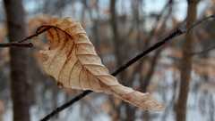 Holding On Despite the Cold (Haytham M.) Tags: wood winter snow plant ontario canada cold tree texture forest canon leaf branch outdoor january depthoffield foliage 18200mm t4i