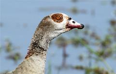 Alopochen aegyptiaca (Egyptian Goose) (Nick Dean1) Tags: southafrica aves goose animalia krugernationalpark birdwatcher egyptiangoose anseriformes alopochen lowersabie chordata alopochenaegyptiaca birdperfect