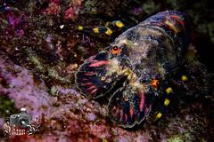 Slipper Lobster (ShaunMYeo) Tags: night diving scubadiving gibraltar calpe underwaterphotography nightdive  gibilterra ikelite campbay      gibraltr  cebelitark gjibraltar ibraltaro hibraltar xibraltar giobrltar gibraltrs gibraltaras ibilt