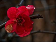 ce matin au jardin (JJ_REY) Tags: winter france fleurs nikon hiver colmar alsace 2016 micronikkor 55mmf28 d700 borderfx finjanvier