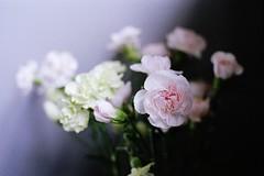 Pink (Pawel Filip) Tags: pink window analog 50mm flora soft interior violet