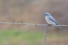 Rubino Mountain Bluebird male 20160130 Ramona Grasslands CA 107 (Ryan Rubino) Tags: ca mountain male wire bluebird ramona barbed grasslands sialia currucoides