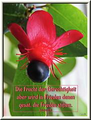 Frucht der Gerechtigkeit / harvest of righteousness (Martin Volpert) Tags: flower fleur peace jesus flor pflanze frieden bible blomma christianity blume fiore blte bibel blomster virg christus lore biblia bloem blm iek floro kwiat flos ciuri bijbel kvet kukka cvijet flouer glauben christentum blth cvet zieds is floare  blome iedas ochnakirkii ochnaceae bibelverskarte james318 mickeymouseplants mavo43 birdseyebushes harvestofrighteousness nagelbeergewchse jakobus318 fruchtdergerechtigkeit nagelbeeren