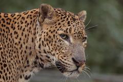 Sri Lankan Leopard 2015-12-17-00030 (bzd1) Tags: cats nature animals mammal outdoor leopard burgerszoo carnivore panthera carnivora felidae pantherapardus aniaml srilankanleopard roofdieren srilankaansepanter