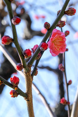 (shinichiro*) Tags: winter flower japan january osaka crazyshin  osakacastle plumblossoms 2016  plumgrove  redplumblossoms sd1m sigma1770mmf284dcmacrohsm sigmasd1merrill 20160114sdim1049