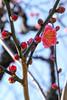 紅梅 寒江 (shinichiro*) Tags: winter flower japan january osaka crazyshin 大阪城 osakacastle plumblossoms 2016 紅梅 plumgrove 梅林 redplumblossoms sd1m sigma1770mmf284dcmacrohsm sigmasd1merrill 20160114sdim1049