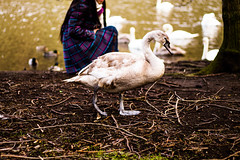 Swan on Land (Cherry Becwell) Tags: park blue brown green bird nature water girl birds outside scotland sticks swan edinburgh purple swans holyrood twigs