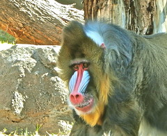 gentle mandrill (Sharon Suzuki-Martinez) Tags: monkey phoenixzoo mandrill