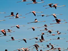 Flamingo (Phoenicopterus roseus) (Arlindo Fragoso) Tags: wild naturaleza nature birds wings wildlife flamingo natureza birding natura aves birdwatching avian oiseaux avifauna birdwatcher phoenicopterus roseus ornitology ornitologia biodiversidade arlindofragoso