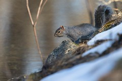7K8A2432 (rpealit) Tags: nature field squirrel scenery wildlife gray east alumni hatchery hackettstown
