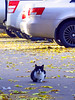 "CCC (Tripple ""C""- Cat, Cars, City) (AzIbiss) Tags: cat alone cars city urban yellow white leaf fallen red kokino bryansk russia canon canondigital canonphotography sx50 hyperzoom outdoor amateur canonsx50 scene scenic animal pet wheel auto loneliness homeless kitten leaffall fall autumn autumnal mood spotlight cynosure centreofattraction focus 500v20f salient"