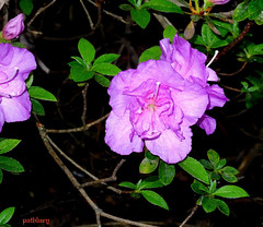 Lovely purple flower at Bilpin (pat.bluey) Tags: bilpingardens newsouthwales australia wildwoodgardens flowers 1001nights 1001nightsmagiccity purple
