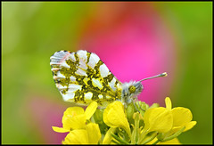 Orange Tip Butterfly (Anthocharis Cardamines)    (Ziva_Amir) Tags: orange male colors butterfly insect bokeh tip pieridae anthocharis   cardamines  forewings