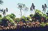 Rosetten-Dickblatt auf einem Hausdach im Norden von La Palma, NGIDn1296817947 (naturgucker.de) Tags: aeoniumarboreum rosettendickblatt naturguckerde 1038097865 1062798284 cbernhardschöner ngidn1296817947 706658441