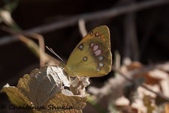 White Orange Tip (Chaitanya Shukla) Tags: india macro butterfly maharashtra in saswad whiteorangetip udachiwadi