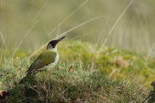 Green Woodpecker (Explored 08-03-16)