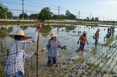 DSC_0512 (cedric.180882) Tags: thailande rizire