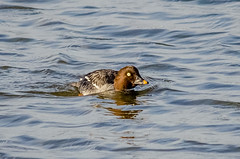Goldeneye (f) (phat5toe) Tags: nature water birds duck nikon wildlife feathers avian goldeneye wigan flashes greenheart d7000 sigma150500