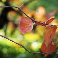 kaki leaves #3 (SS) Tags: autumn light red italy orange tree green colors yellow garden pentax bokeh squareformat lazio k5 colorpalette 2015 diospyroskaki smcpentaxm50mmf17 ss