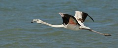 Greater Flamingo  (Phoenicopterus ruber)  (Explored)   01-03-2016 (nick.linda) Tags: spain flamingos salinas birdsinflight marmenor phoenicopterusruber greaterflamingo canon100400 sanpedrodelpinatar wildandfree explored costablancaspain