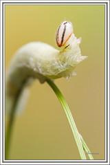 Euphyes vestris - Dun Skipper (J. Amorin) Tags: macro gusano larva oruga dunskipper euphyesvestris amorin mariposasdemexico mariposasdetabasco
