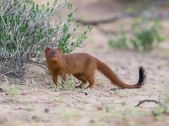 Slender Mongoose (Galerella sanguinea) Schlankmanguste (jaffles) Tags: park holiday nature southafrica wildlife natur olympus safari kalahari südafrika transfrontier kgalagadi