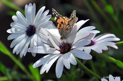 DSC_0147 (rachidH) Tags: flowers vanessa nature cosmopolitan blossoms egypt butterflies insects bee cairo papillon daisy blooms dame africandaisy cynthia paintedlady osteospermum vanessacardui blueeyeddaisy vanessedeschardons labelledame vanesse rachidh