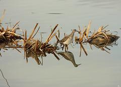 Combatiente - Philomachus pugnax (candel87) Tags: fauna birding iso 400 mm 300 f56 f4 euskadi vitoriagasteiz 100300 philomachus pugnax salburua 11600 450d 23122015