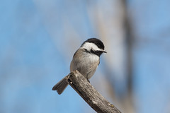 Black-capped Chickadee (Laura Erickson) Tags: paridae stlouiscounty westernwaterfronttrail blackcappedchickadee birds duluth passeriformes species places minnesota indianpoint parusatricapillus poecileatricapillus