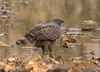 Changeable Hawk Eagle - Nisaetus-cirrhatus