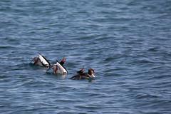 On Display 2.jpg (FotoReliq) Tags: ca toronto ontario canada nature birds wildlife ducks redbreasted merganser thommythompsonpark