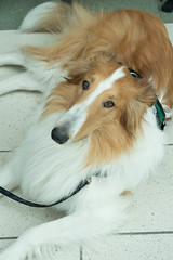 Service Dog on Duty (PurpleSaline) Tags: dog pet animal collie servicedog workingdog