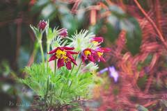 (kinga.lubawa) Tags: flowers flower colors canon kwiaty kwiat kolory kolorowe canon6d