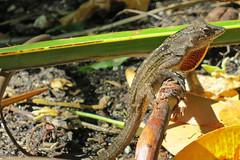 Brown anole, Key West, Florida (Hawkfish) Tags: florida lizard anole keywest floridakeys brownanole canonpowershots100