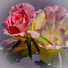 Mesmerising (Jack o' Lantern) Tags: roses art rose contemporary society mesmerising contemporaryartsociety masterphotos saariysqualitypictures fleursetpaysages