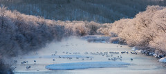 Winter Wonderland (Ludovica M.B.) Tags: travel mist snow animals japan fog landscape pastel wildlife ngc cranes dreamy dreamlike winterwonderland softtones ludovicamb