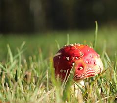 BB5A0982 (joa_bauer) Tags: mushroom fly toadstool agaric pilz fliegenpilz flyagaric